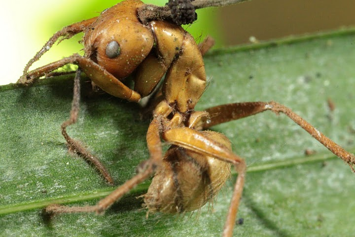 Dead ant zombified by fungus